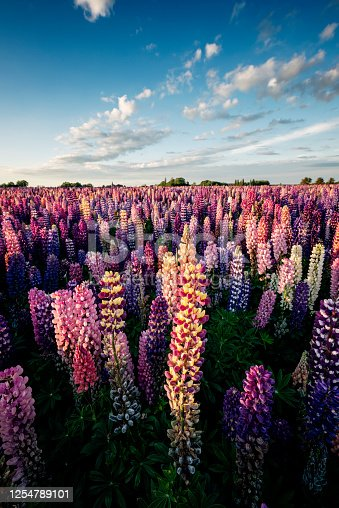 Wide angle view, looking towards a setting sun of a large field of multi-coloured flowering lupins. The lupins are being grown for their seeds. Colour, vertical with some copy space. Remember that Lupin seed are poisonous. Photographed in Denmark.