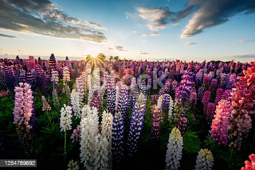 Wide angle view, looking towards a setting sun of a large field of multi-coloured flowering lupins. The lupins are being grown for their seeds. Colour, horizontal with some copy space. Remember that Lupin seed are poisonous. Photographed in Denmark.