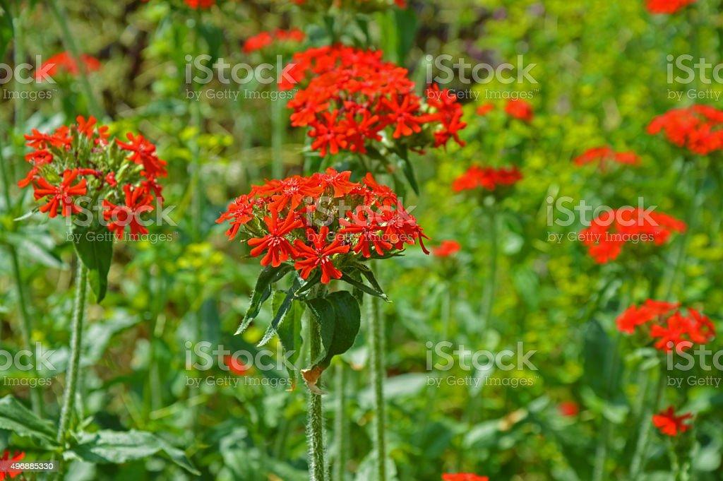 Field of Lychnis chalcedonica stock photo
