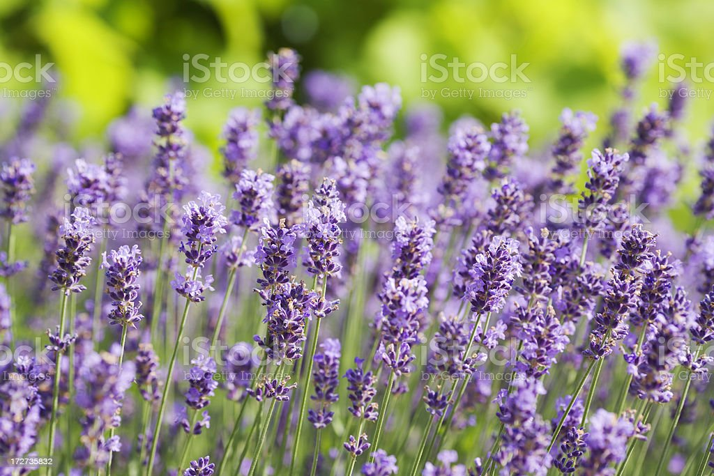 A field of many lavender flowers royalty-free stock photo