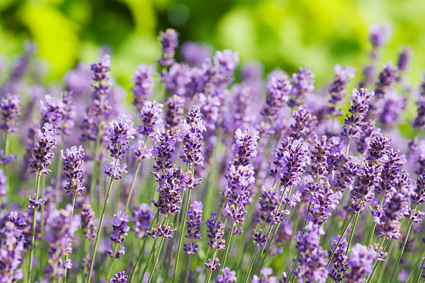 A field of many lavender flowers stock photo