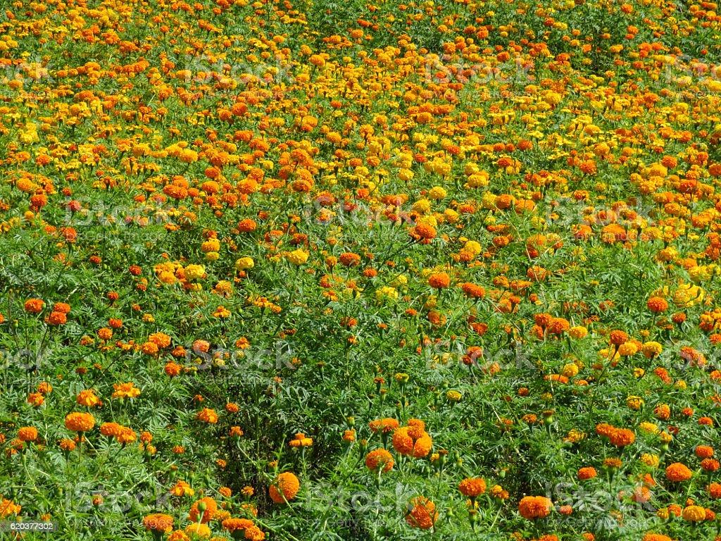 Pole Marigolds zbiór zdjęć royalty-free