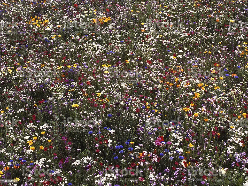 Field of mixed Wildflowers royalty-free stock photo