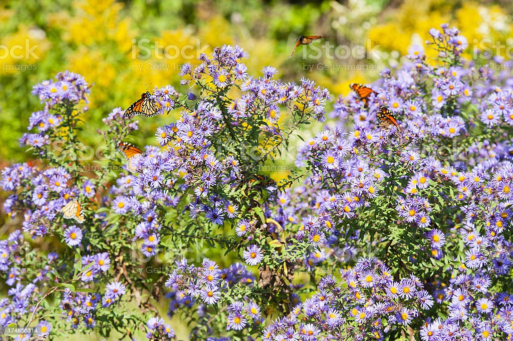 Field of Monarch royalty-free stock photo