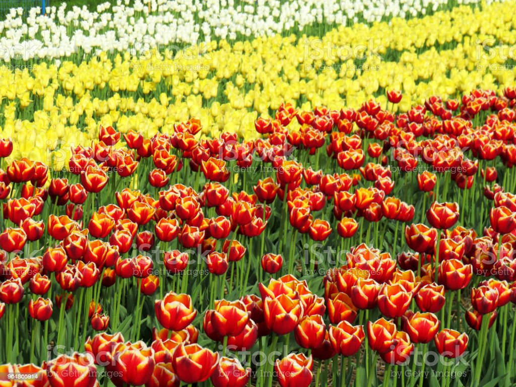 Field of multi color tulips in spring royalty-free stock photo