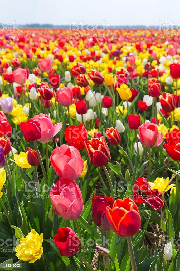 Field of multicolored tulip foto