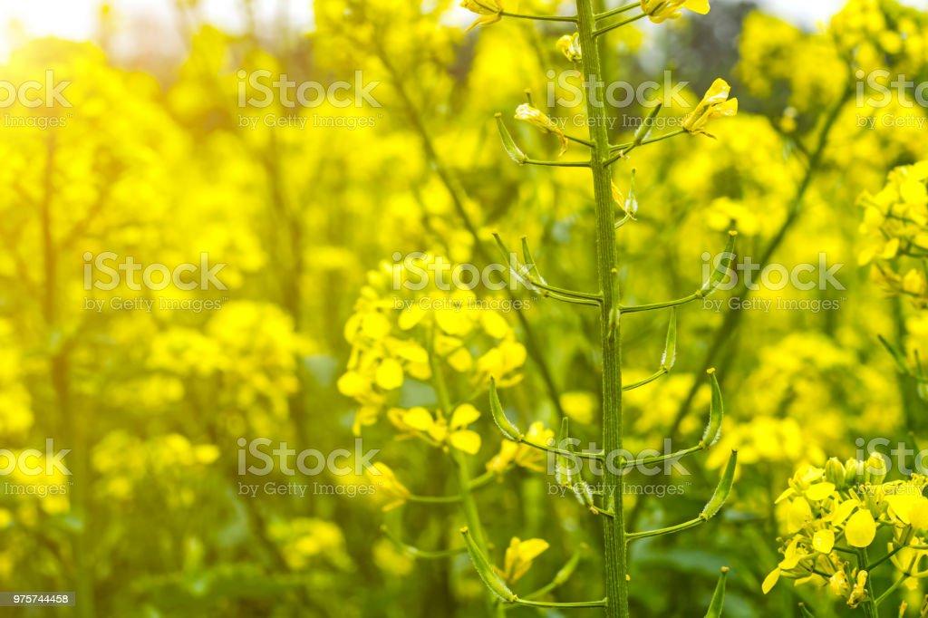 Bereich der Senf im Frühsommer während der Blütezeit - Lizenzfrei Agrarbetrieb Stock-Foto