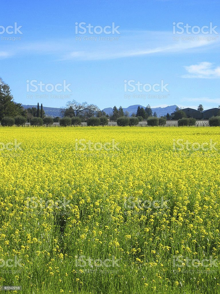 Field of mustard in Napa royalty-free stock photo