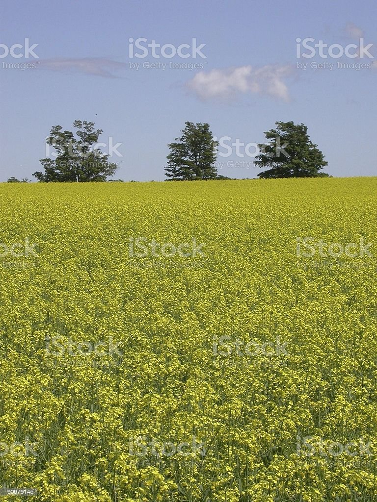 Field of Mustard royalty-free stock photo