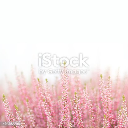 istock Field of natural, organic heather flowers. Small violet, pink color 494562296