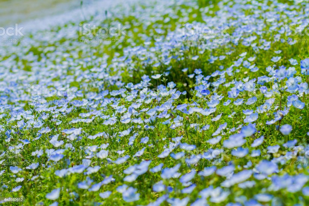 Field of Nemophila, or baby blue eyes in soft light and shadow. stock photo