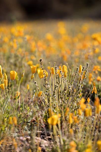 Ein Feld von New Mexico Mohnblumen – Foto