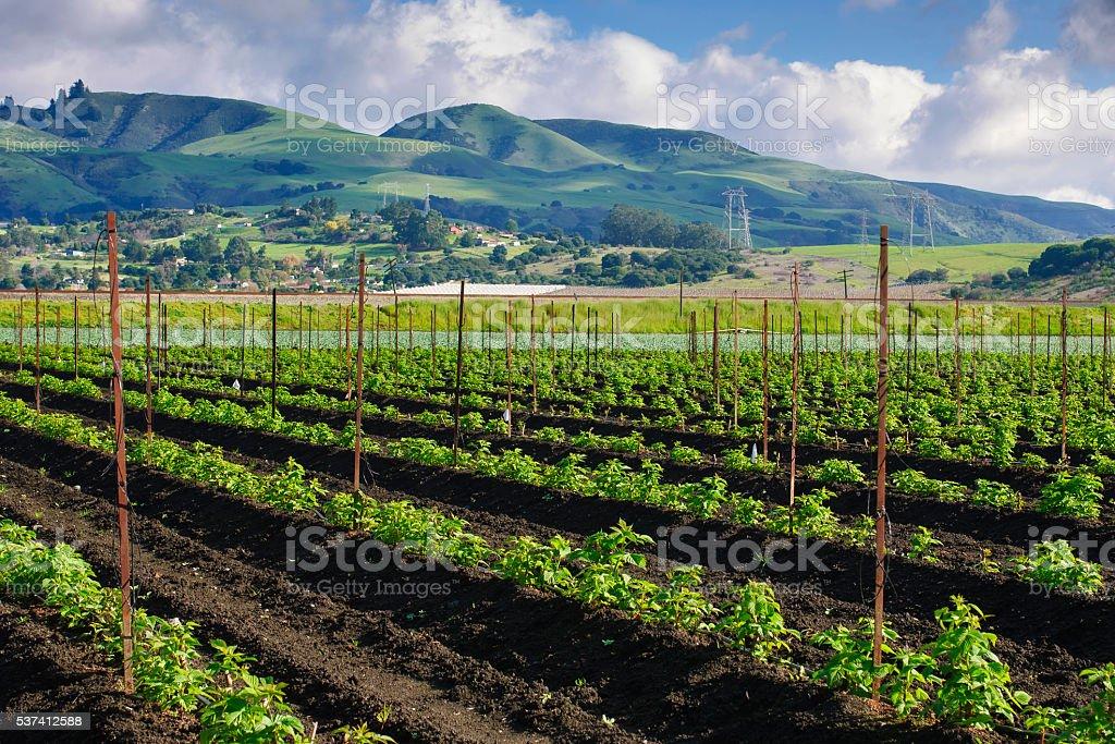 Campo de cultivo de plantas de frambuesa nuevo orgánicos - foto de stock