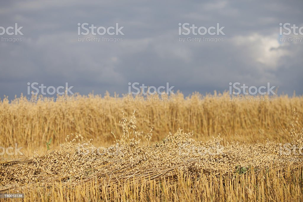 Field of oats as agricultural background. royalty-free stock photo