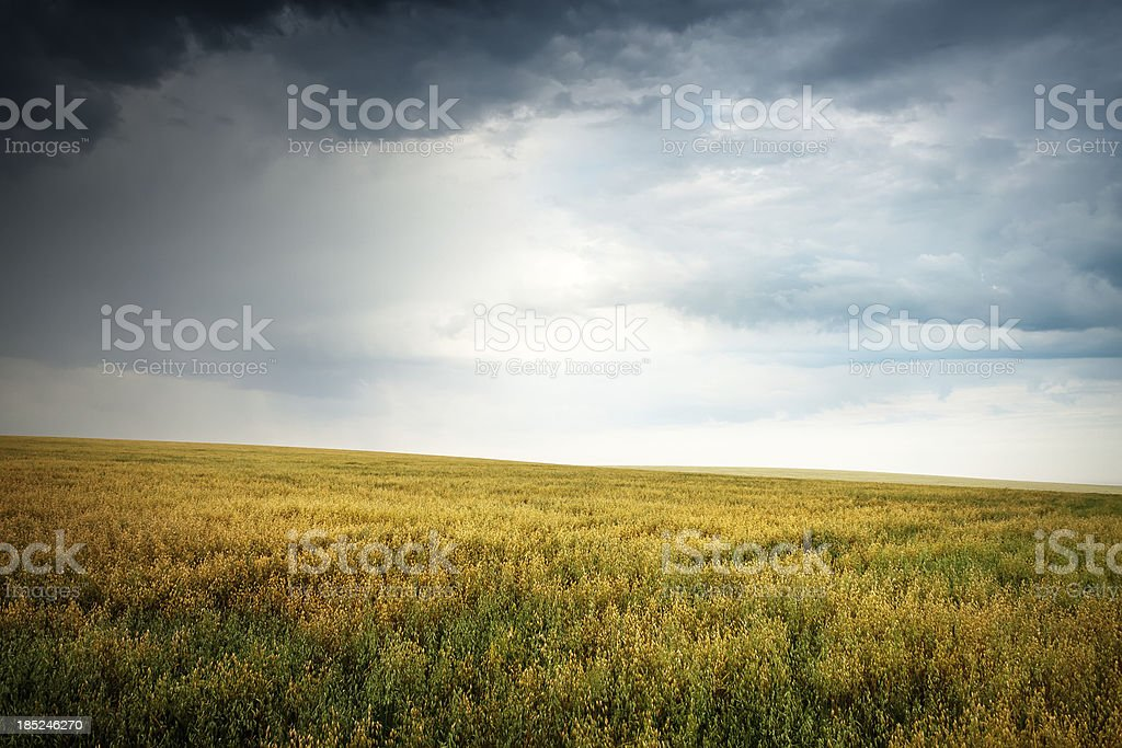 Field of oats before the storm royalty-free stock photo