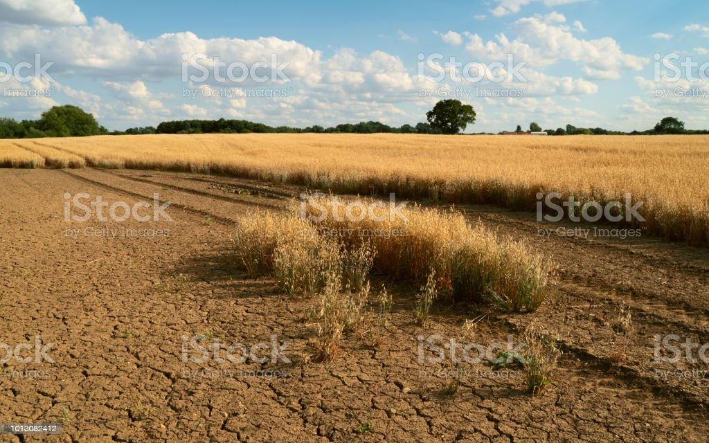 Beverley, Yorkshire, UK. View across field of oats during dry spell...