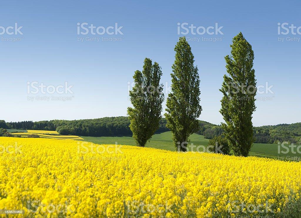 Field of oilseed rape canola  (image size XXXL) royalty-free stock photo