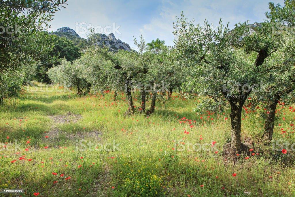 champ d'oliviers et coquelicots - Photo