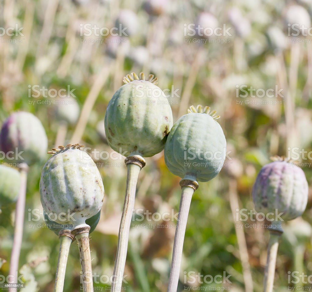 Field Of Opium Poppy Seed Pods Stock Photo More Pictures Of 2015