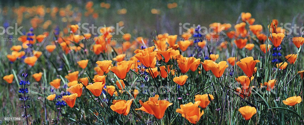 A field of orange California Poppies and purple flowers royalty-free stock photo