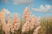 A field of pampas herb with the blue sky in the background, tranquil scene, Sintra, Portugal