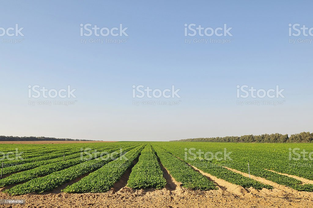 A field of peanut crops at a farm stock photo
