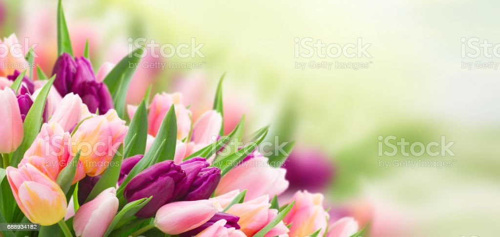field  of pink and violet tulip stock photo