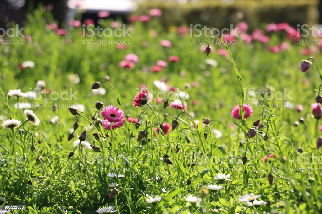 Field of pink and white Everlasting Daisies royalty-free stock photo