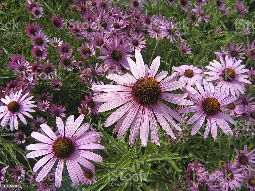 Field of pink Echinacea flowers royalty-free stock photo