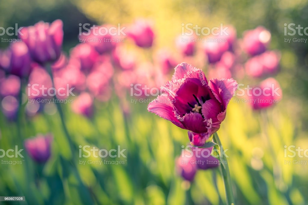 A field of pink fimbriated tulips in the garden on a bright sunny day. Close-up - Royalty-free Abstract Stock Photo