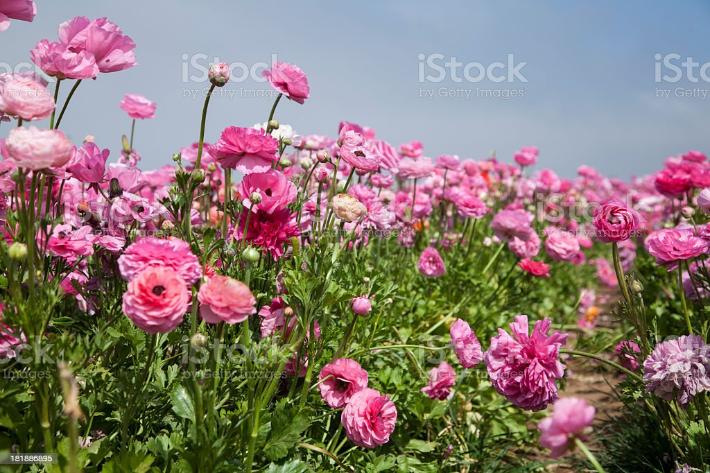 Field of pink flowers royalty-free stock photo