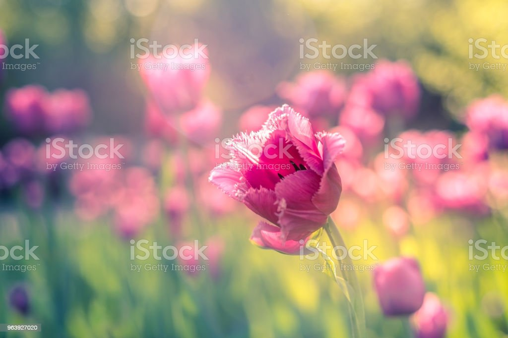 A field of pink fringed tulips in the garden on a bright sunny day. Close-up. - Royalty-free Agricultural Field Stock Photo