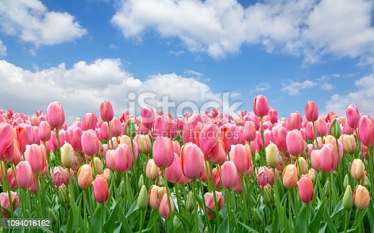 istock A field of pink tulips against a clear cloudy sky 1094016162