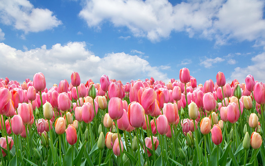 1094016162 istock photo A field of pink tulips against a clear cloudy sky 1094016162