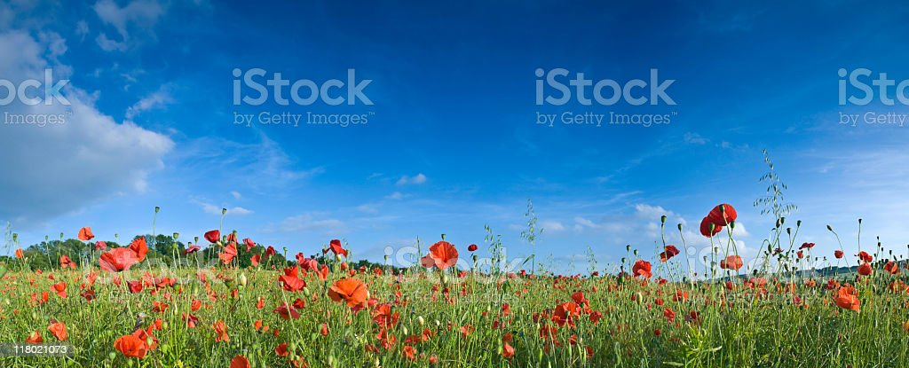 Field of poppies against a deep blue sky royalty-free stock photo