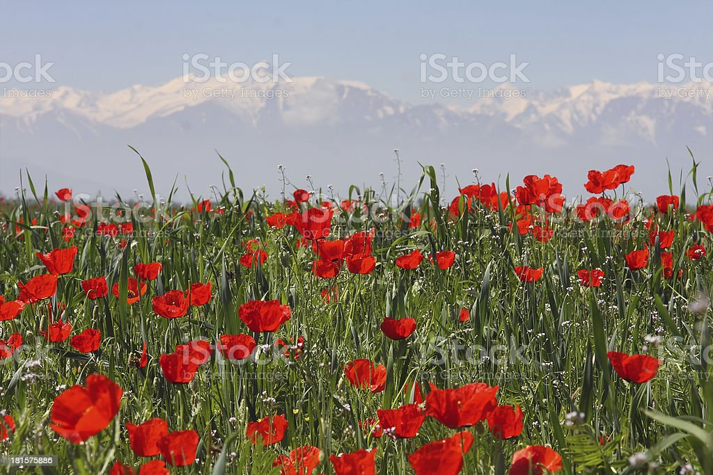 Field of poppies against mountains. royalty-free stock photo