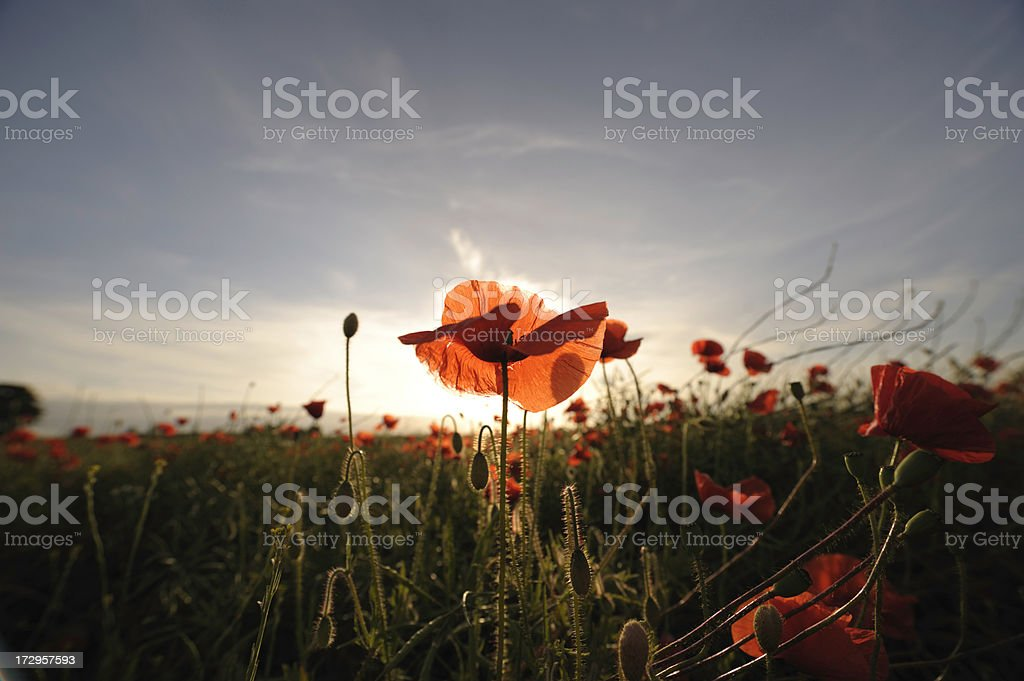 Field of poppies at sunset royalty-free stock photo