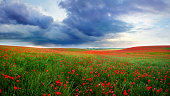 Field full of poppies in a spring day with rain in the distance behind the meadow.