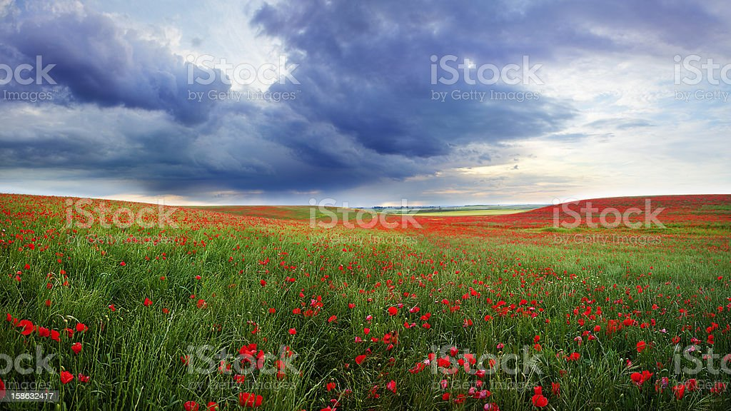 Field of poppies bloom stock photo