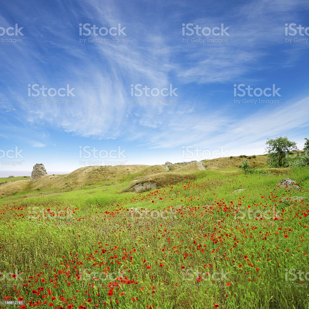 Field of poppies in a green grass under blue sky stock photo