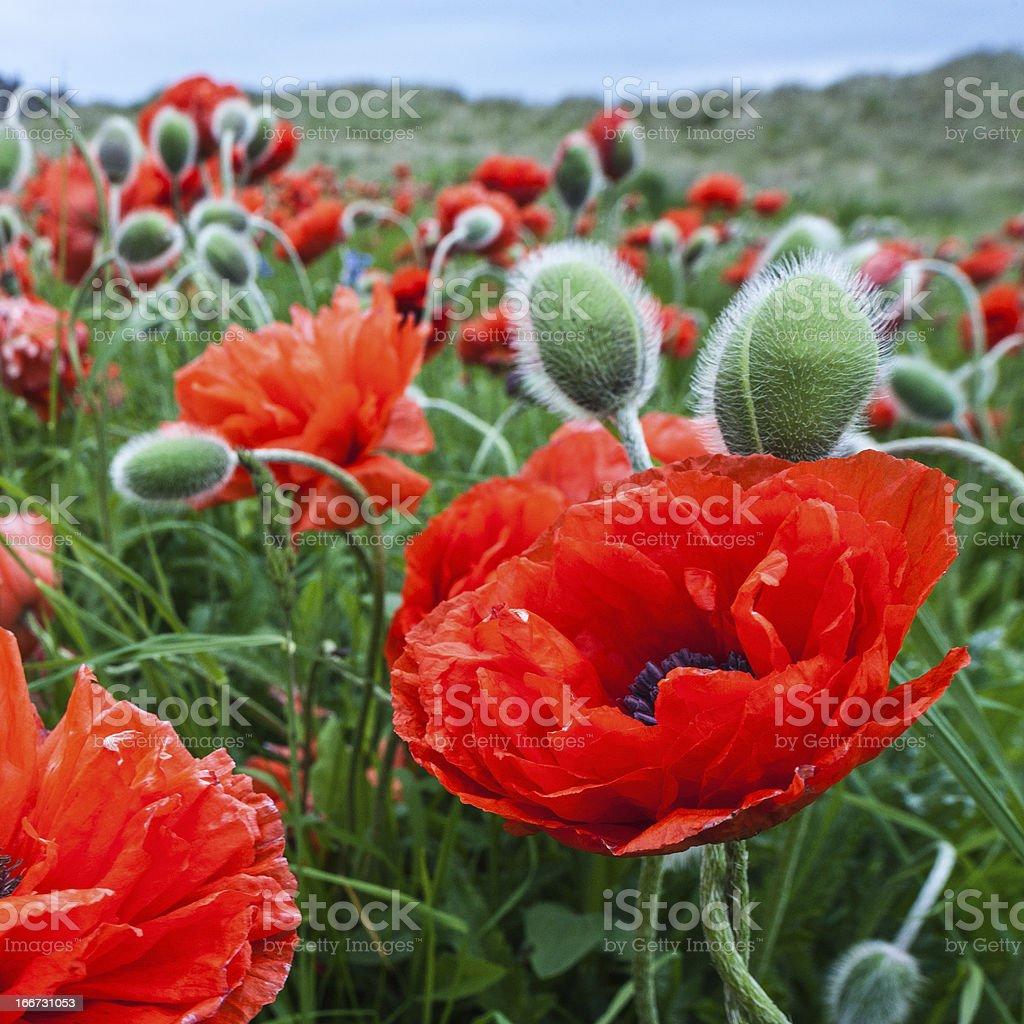 Bereich der poppies – Foto
