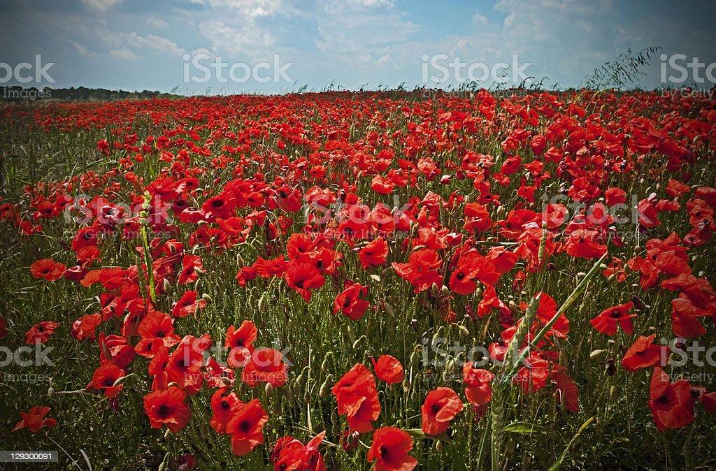 Field of poppy flowers stock photo