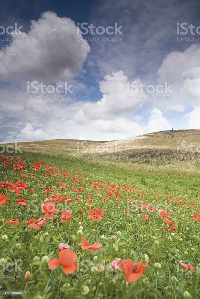 field of poppy stock photo
