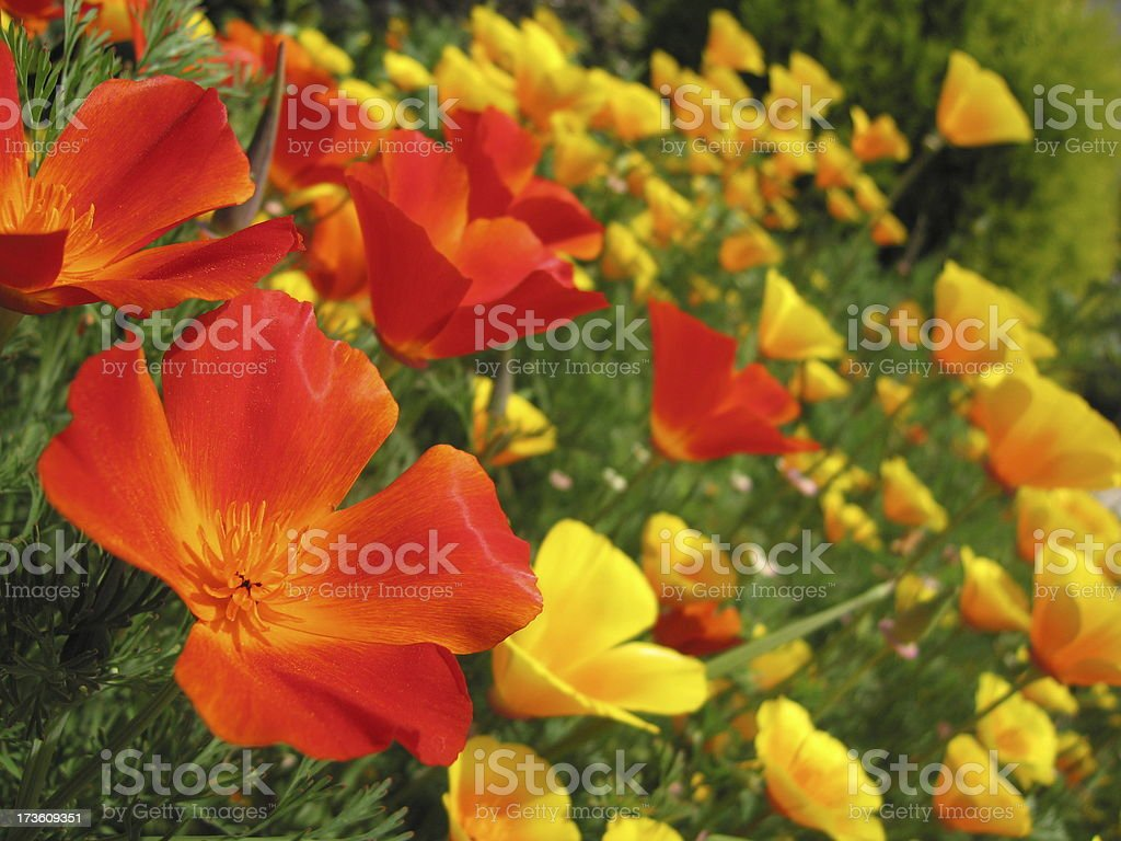 Field of Posies royalty-free stock photo