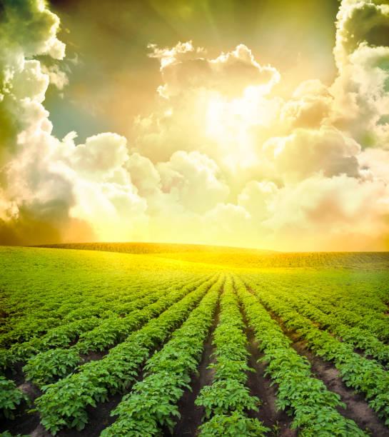 bereich der kartoffel - agrarbetrieb stock-fotos und bilder