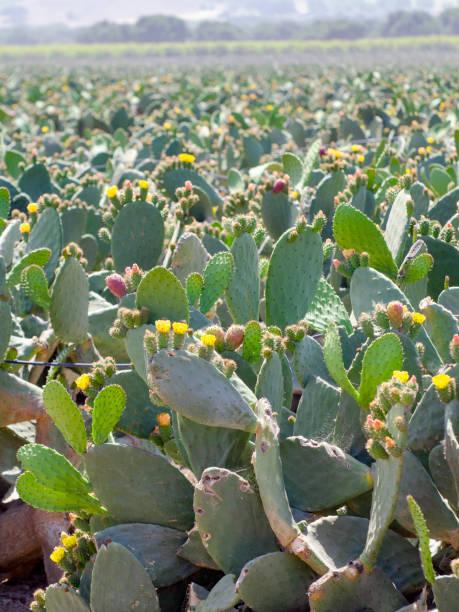field of prickly pear cactus, Opuntia ficus-indica stock photo