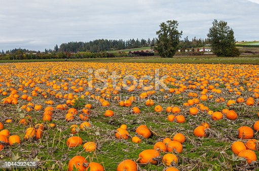 620705960istockphoto Field of pumpkins 1044392426