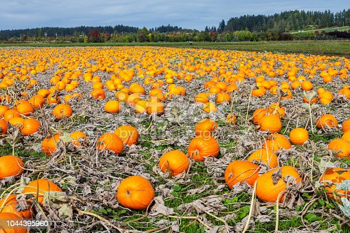 620705960istockphoto A field of pumpkins 1044395960