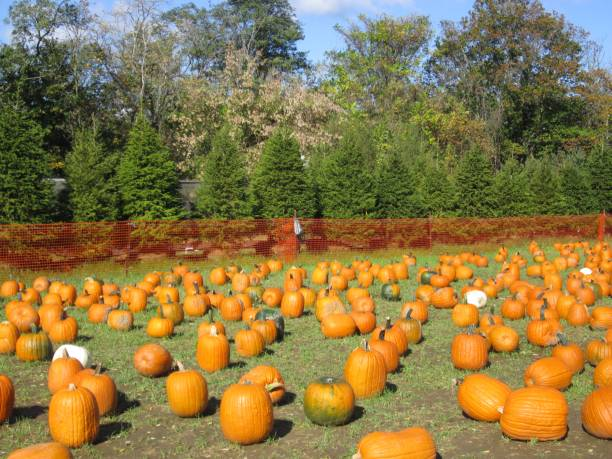 Field of Pumpkins with Pine Trees stock photo