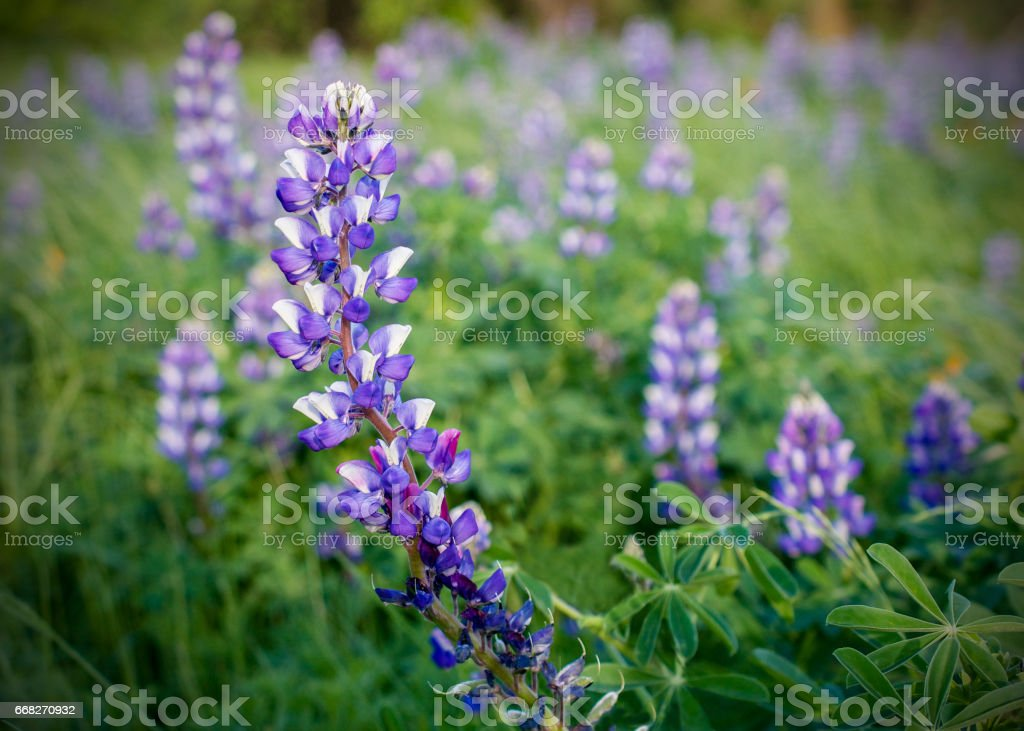 Field of purple lupens foto stock royalty-free